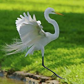 Roy Williams - Great Egret Prepared For Landing