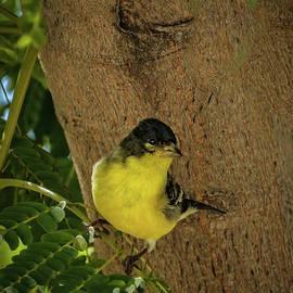 Lesser Goldfinch by Robert Bales