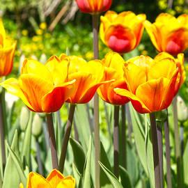 Lali Kacharava - Orange tulips