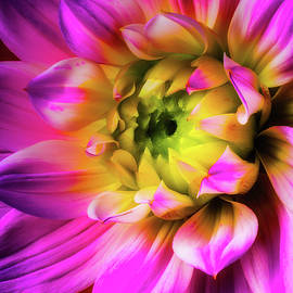 Pink Dahlia Close Up - Garry Gay