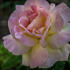 Jane Luxton - Pink Perfection