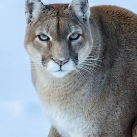 Puma by Gina Levesque