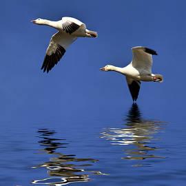 Geraldine Scull - Snow geese in flight