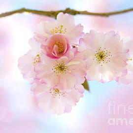 Spring Cherry Blossom by Jacky Parker