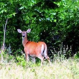 Jeanie Mann - Texas Whitetail Deer