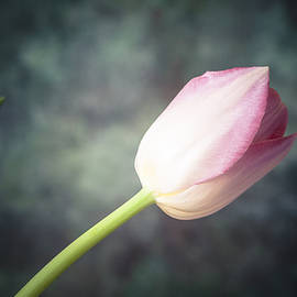 Maria Heyens - Tulip