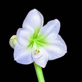 White lily by Viktor Birkus