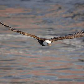 Bald Eagle by Peter Lakomy