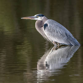 Great Blue Heron by Tam Ryan