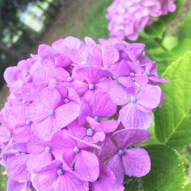 Yuji Ueno - hydrangea-viewing season is at an end