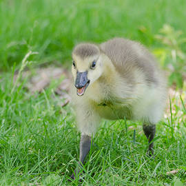 Baby Duck by Gina Levesque