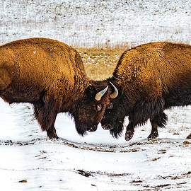 Bison by Norman Hall
