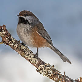 Boreal Chickadee by Steve Dunsford