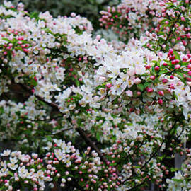 Adam Asar - Cherry Blossoms