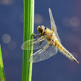 Four-spotted chaser by Jouko Lehto