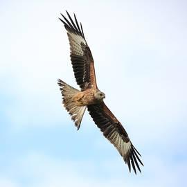 Red Kite In Flight by Maria Gaellman