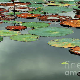 Alan Look - Spring Lake Fish and Wildlife Area - Water lilies - Nymphaeaceae