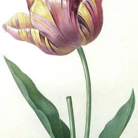 Pierre Joseph Redoute - Tulip