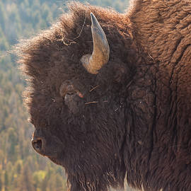 Yellowstone Bison by Brenda Jacobs