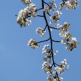 Robert Ullmann - Cherry Blossoms