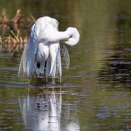 Great Egret by Tam Ryan