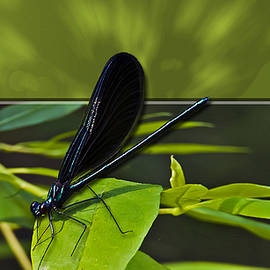 Michael Whitaker - 3D Black Dragonfly