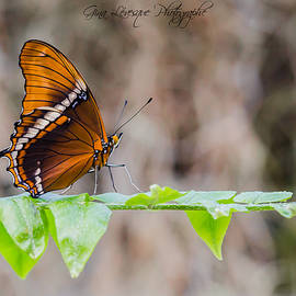 Butterfly  by Gina Levesque