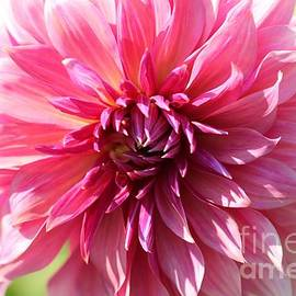 J McCombie - Dahlia named Penhill Dark Monarch