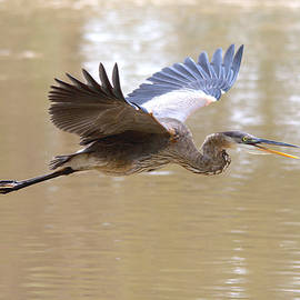 Roy Williams - Great Blue Heron In Flight Over The River