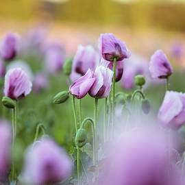 Lilac Poppy Flowers - Nailia Schwarz