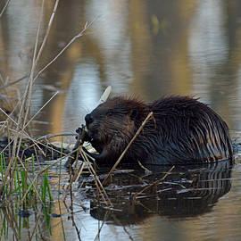 Mark Wallner - Beaver in the water