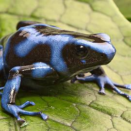 Dirk Ercken - Blue Poison Dart Frog