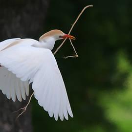 Roy Williams - Cattle Egret In Flight With Nest Material - DigitalArt