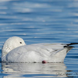 Snow Goose by Gina Levesque
