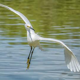 Snowy Egret Flight by Tam Ryan