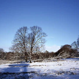 Ash Trees in the  snow near Lyme Park  between Poynton and Disley Cheshire England