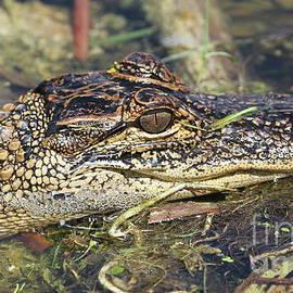 Baby Alligator by Ken Keener
