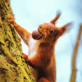 Eurasian Red Squirrel - Sciurus Vulgaris by Marc Braner