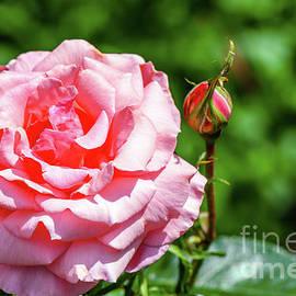 Viktor Birkus - Spring roses