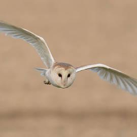 Barn Owl  - Ian Hufton