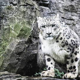 Snow Leopard - Martin Newman