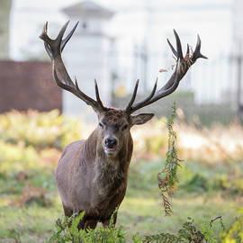 Matthew Gibson - Majestic powerful red deer stag Cervus Elaphus in forest landsca