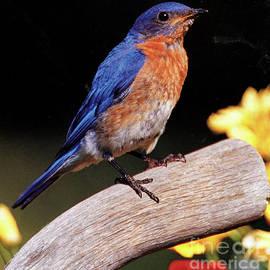 Ruth Housley - Eastern Bluebird
