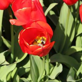 Tulip by Sherri Keene