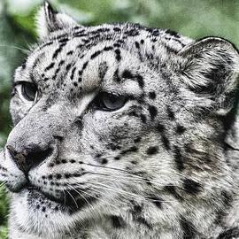 Martin Newman - Snow Leopard