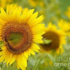 Robin Lee Mccarthy Photography - #933 D968 Colby Farm Sunflowers Heart Shaped LOVE