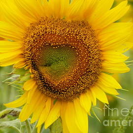 Robin Lee Mccarthy Photography - #933 D969 Colby Farm Sunflowers