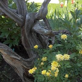 A Beautiful Bed Of  Yellow Tea Roses by Paul - Phyllis Stuart