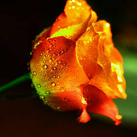 Jeff Swan - A beautiful wet rose