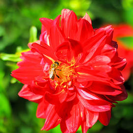 A bee in the red flower